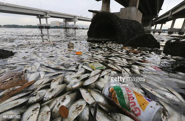 Dead fish float on the edge of Guanabara Bay a part of which is the Rio 2016 Olympic Games sailing venue on February 25 2015 in Rio de Janeiro Brazil...