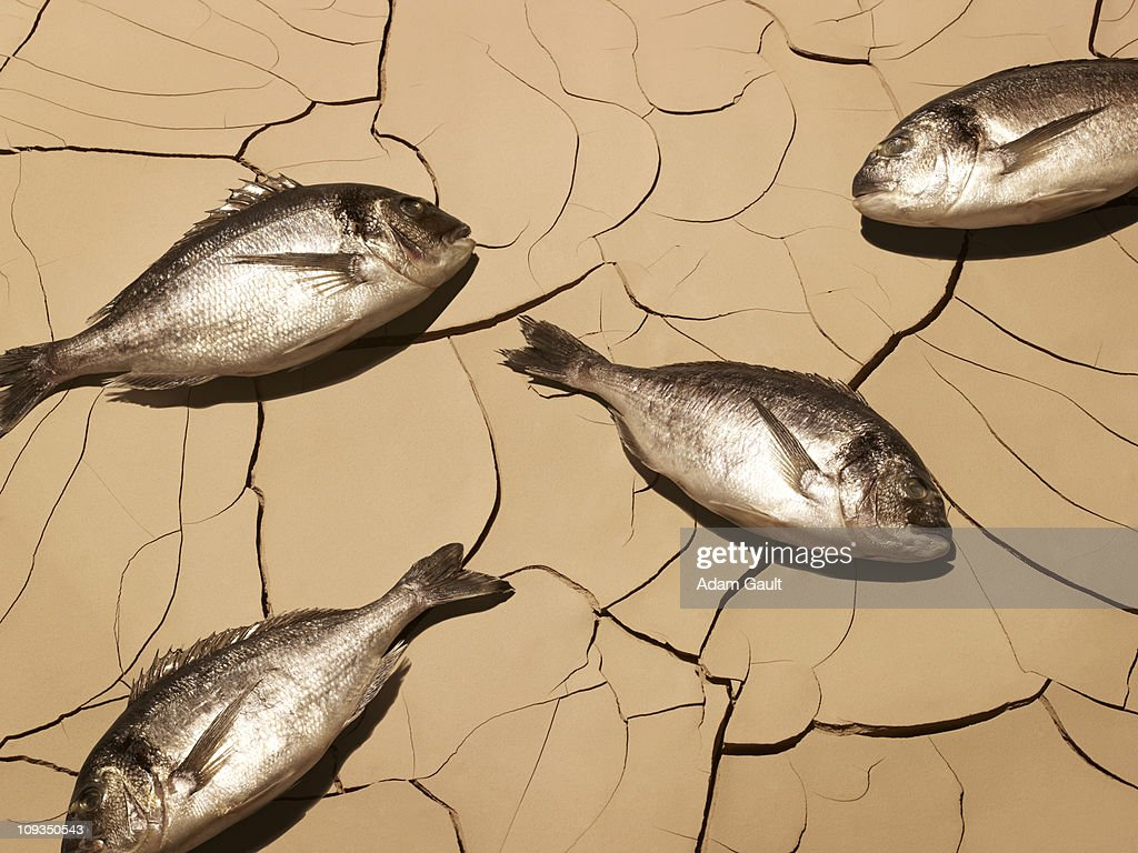 Dead fish laying on cracked mud : Stock Photo