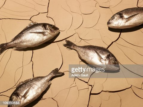 Dead fish laying on cracked mud : Foto stock