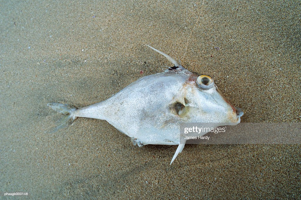 Dead fish on sand : Stock Photo