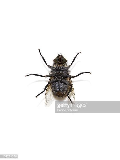 dead fly lying on its back