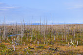 Dead forest on the river Fishing. Forest, killed the Norilsk metallurgical plant.