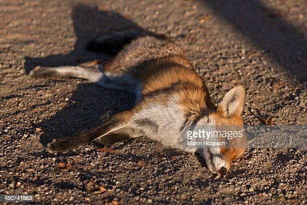 A dead fox lying on dirt