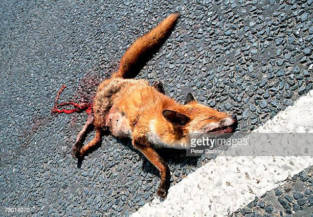 Dead fox on road, elevated view