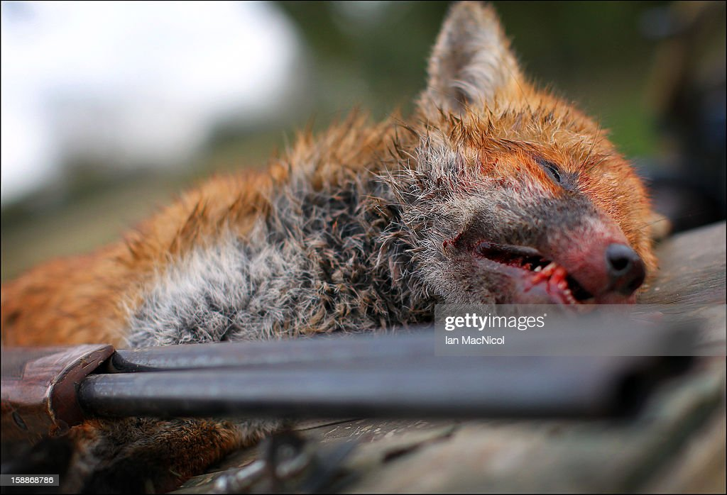 A dead fox which has been shot during a fox hunt with The Duke of Buccleugh's Fox hounds on November 09, 2011 in St Boswells, Scotland.
