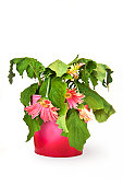The most easily killed potted plant, the Gerbera daisy, in its natural form -- dead / dying. Isolated on white.