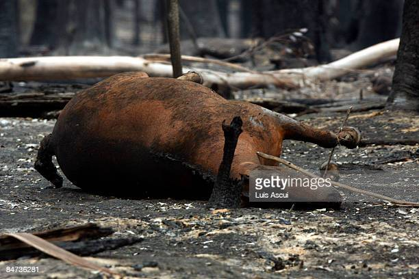 A dead horse is seen in the aftermath of a bushfire which continues to blaze across Victoria on February 11 2009 in Kinglake Australia Victoria...