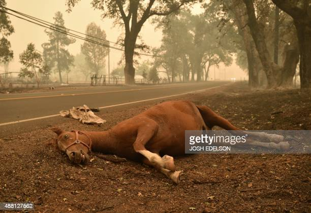 A dead horse lays on the side of a road while firefighters continue to battle the Valley fire in Middletown California on September 13 2015 The...
