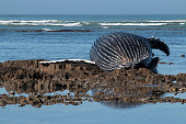14m humpback whale cow washed up on a South African beach on 23 December 2015
