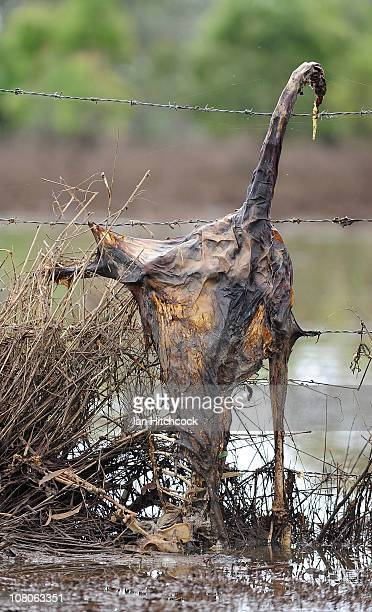 A dead kangaroo is seen hanging up on a barb wire fence after flood waters fall on January 16 2011 in Rockhampton Australia Rockampton experienced...
