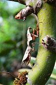 A dead leaf mantis on a tree
