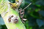 A dead leaf mantis sits on a tree limb waiting for lunch.