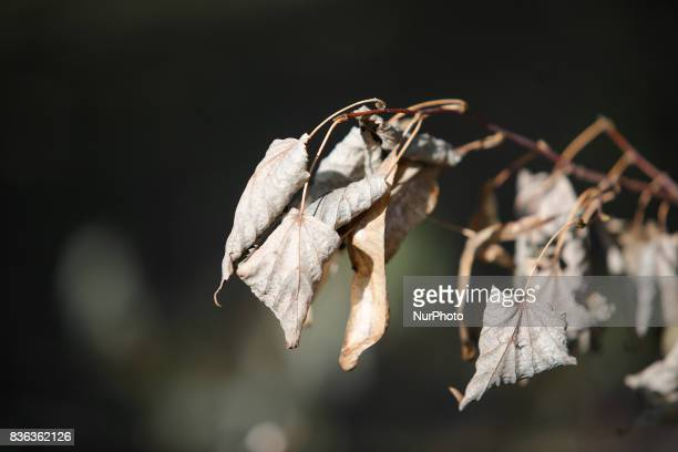 Dead leaves hanging from a branch on a dead tree that was blown over during heavy storms recently are seen on 19 August 2017
