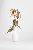 dead lily bouquet in white vase with white background