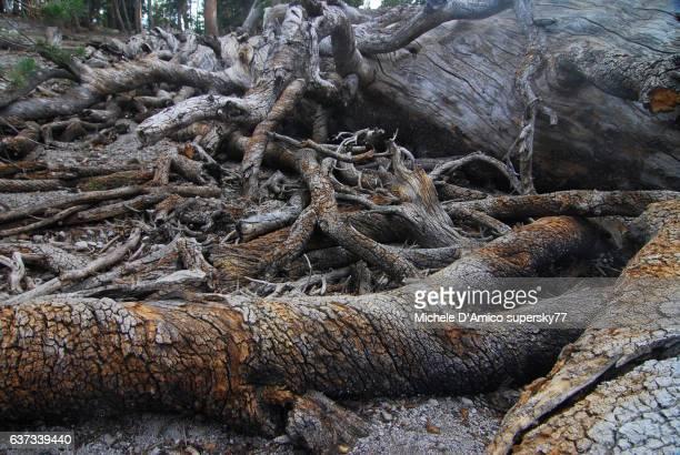 Dead lodgepole pine