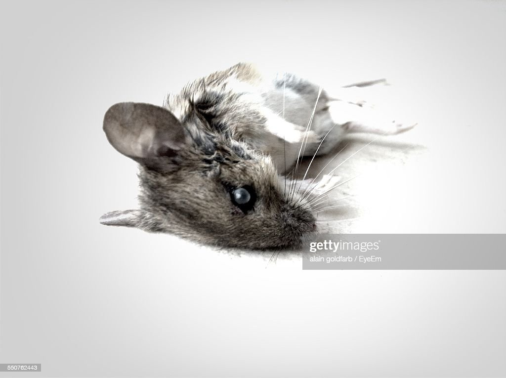 Dead Mouse On Floor At Home