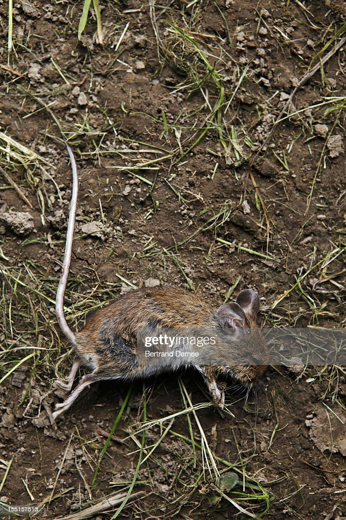 Dead mouse : Stock Photo