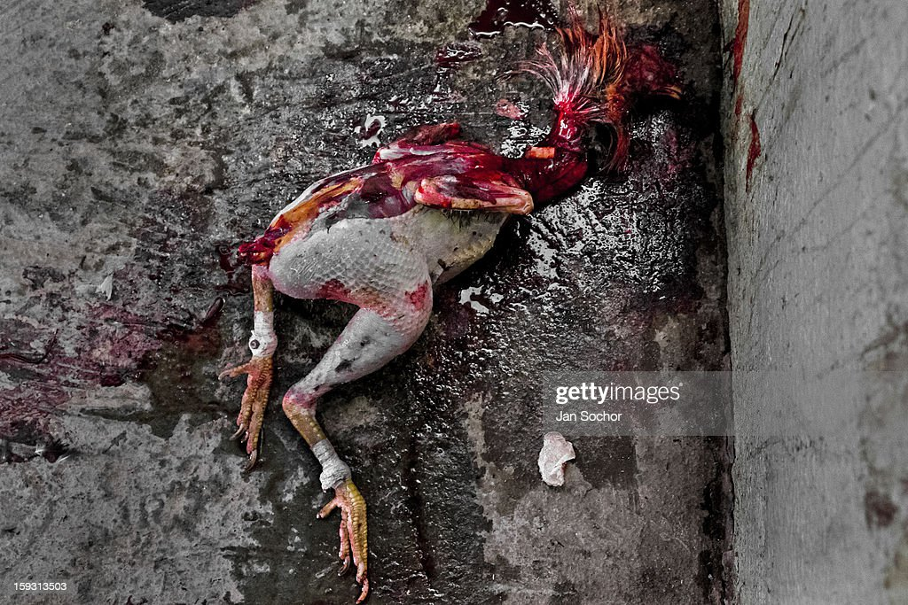 A dead mutilated body of a fighting cock, covered in blood, thrown in the corner of the arena in Cabure, Venezuela on May 28 2006. Cockfight is a widely popular and legal sporting event in much of Latin America. The fight is usually held in an arena (gallera in spanish) with seats for spectators. There is always gambling involved in cockfights. People take advantage of cock's natural, strong will to fight against all males of the same species. Birds are specially bred to increase their aggression and stamina, they are given the best of food and care. The cocks are equipped with tortoise-shell made gaffs tied to the bird's leg. The fight is not intentionally to the death but it may result in the death of cocks very often.