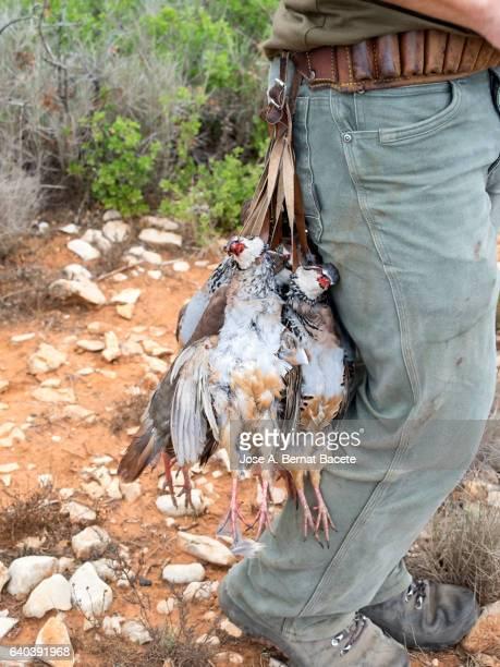 Dead partridges hanging of the belt of a hunter , (Alectoris rufa).
