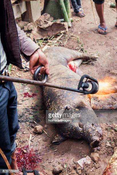 Dead Pig on the ground being blow torched after animal sacrifice ritual