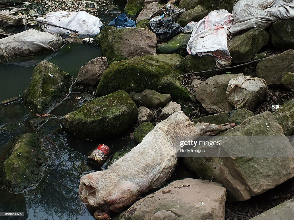 Dead pigs are seen on the banks of the Wulonghe River on March 12, 2013 in Yichang, China. More than 50 dead pigs were found in the Wulonghe River, a branch of Yangtze River, and the reason is unclear.