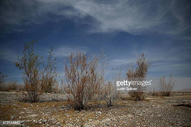 Dead plants stand on what used to be the bottom of Lake Mead near Stewarts Bay on May 12 2015 in Lake Mead National Recreation Area Nevada As severe...