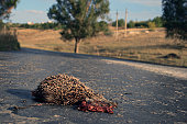 Dead porcupine on road