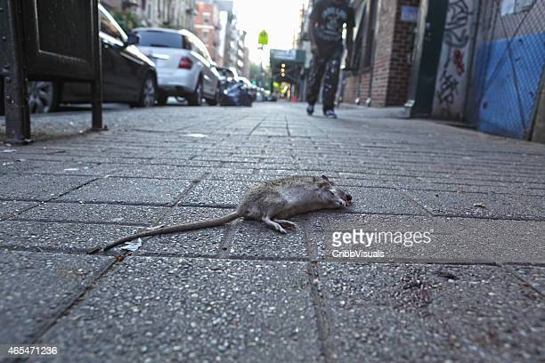 Dead rat on the sidewalk of New York City street