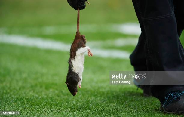 A dead rat thrown on by fans of Brondby IF is being removed from the pitch during the Danish Alka Superliga match between Brondby IF and FC...
