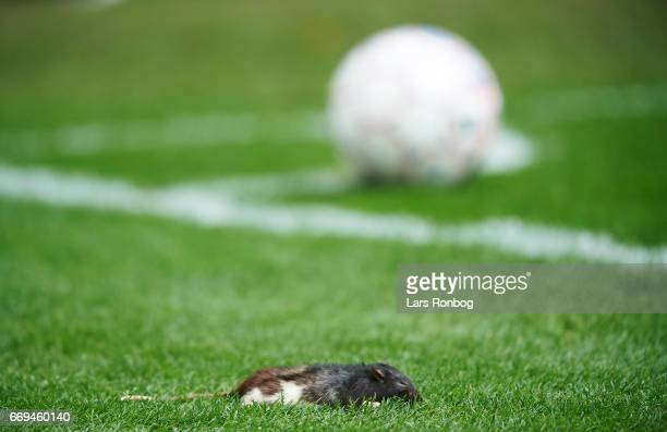 A dead rat thrown on by fans of Brondby IF lies on the pitch when Ludvig Augustinsson of FC Copenhagen takes a cornerback during the Danish Alka...