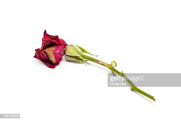 dead red rose