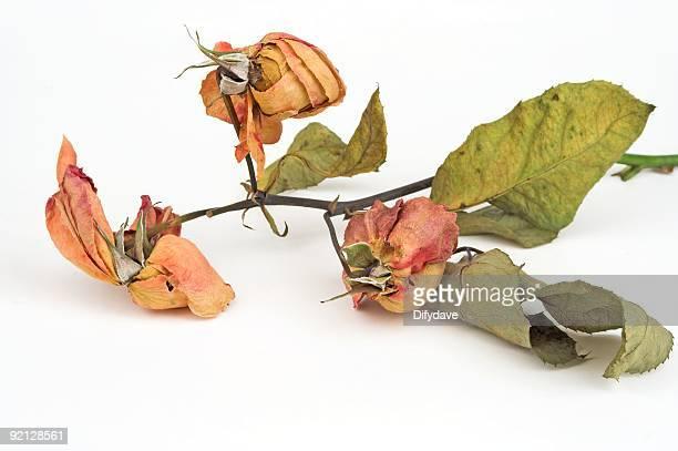 Dead Rosen