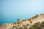 Dead Sea and Wild Animals, goat