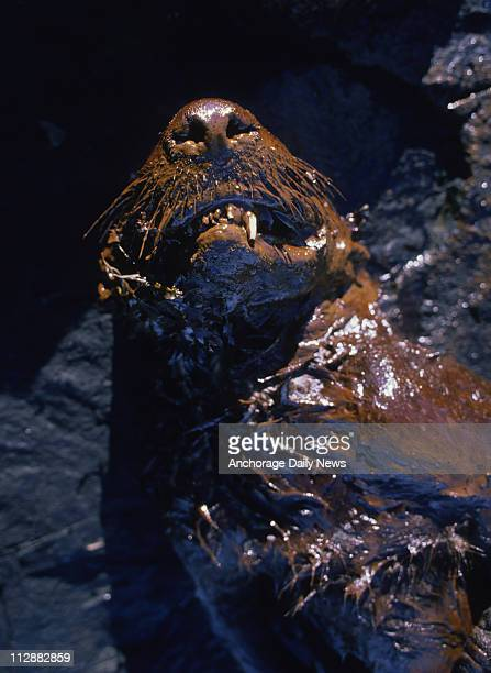 A dead sea otter coated with crude oil from the Exxon Valdez oil spill is found on the beach of Green Island in Prince William Sound Alaska on April...