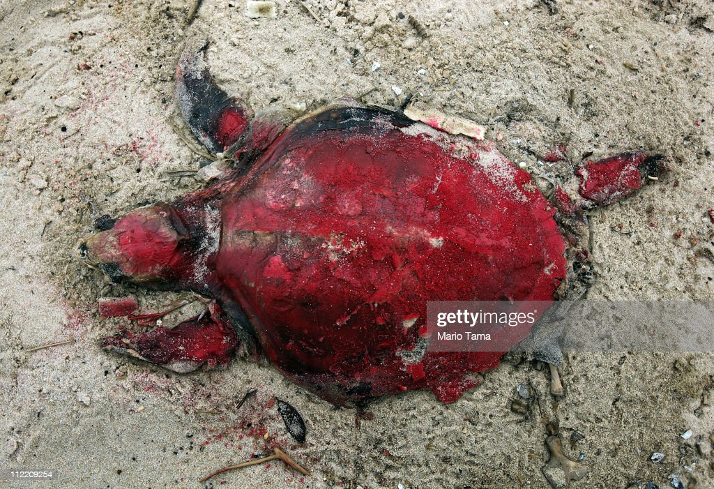 A dead sea turtle is painted red as marked for removal nearly a week after it was pulled out of the surf April 14, 2011 in Waveland, Mississippi. Local turtle activist Shirley Tillman says she has discovered 19 dead sea turtles in Mississippi in the month of April alone and suspects they are dying due to the effects of the BP oil spill. Endangered sea turtles and dolphins are still dying in high numbers in Mississippi, which continues to be impacted by tar balls and weathered oil. There have been 67 reported sea turtle deaths through April 11. April 20th marks the one-year anniversary of the worst environmental disaster in U.S. history.
