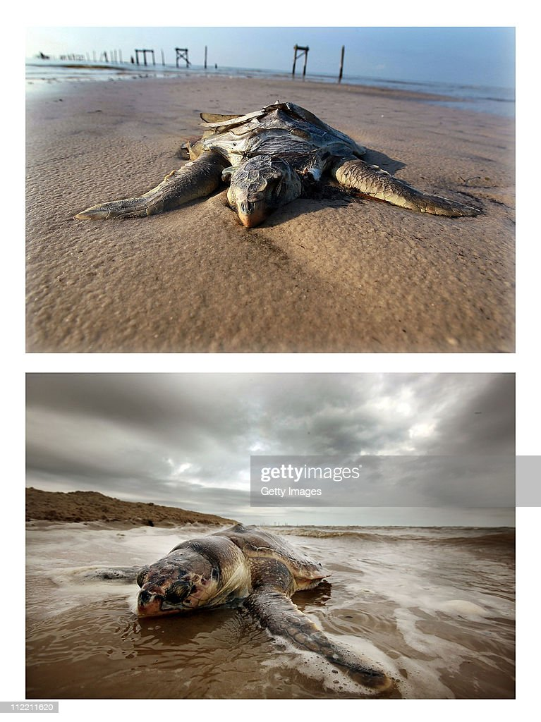 A dead sea turtle is seen laying on a beach as concern continues that the massive oil spill in the Gulf of Mexico may harm animals in its path on May 5, 2010 in Waveland, Mississippi. It is unknown if the turtle died due to the oil spill. Oil is still leaking out of the Deepwater Horizon wellhead at an estimated rate of 1,000-5,000 barrels a day. (Photo by Joe Raedle/Getty Images) (Bottom Photo) WAVELAND, LA - APRIL 14: A dead sea turtle is seen washed onto shore April 14, 2011 in Waveland, Mississippi. Endangered sea turtles and dolphins are still dying in high numbers in Mississippi, which continues to be impacted by tar balls and weathered oil. There have been 67 reported sea turtle deaths in Mississippi through April 11 and many believe the BP spill is to blame. April 20th marks the one-year anniversary of the worst environmental disaster in U.S. history.