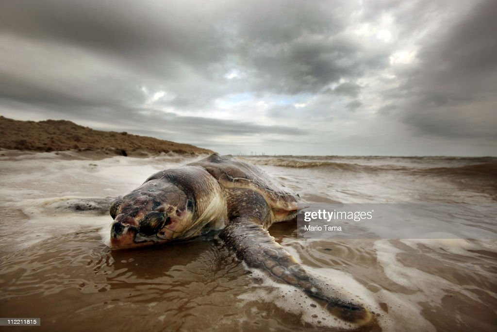 A dead sea turtle is seen washed onto shore April 14, 2011 in Waveland, Mississippi. Endangered sea turtles and dolphins are still dying in high numbers in Mississippi, which continues to be impacted by tar balls and weathered oil. There have been 67 reported sea turtle deaths in Mississippi through April 11 and many believe the BP spill is to blame. April 20th marks the one-year anniversary of the worst environmental disaster in U.S. history.