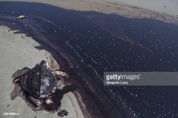 A dead sea turtle lies next to a rolling tide of crude oil released following the sinking of the BP Deepwater Horizon drilling rig along the shore of...