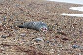 Dead seal. Recently killed marine mammal. Rotting carcass of marine animal on beach. Remains of washed up grey seal body.