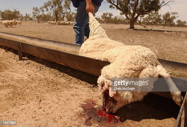 A dead sheep is removed from a water trough in a paddock at a Station outside Broken Hill on October 22 2002 in New South Wales Australia The weak...