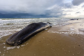 Three dead sperm whales are lying on a beach of the island of texel