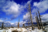 dead spruce forests
