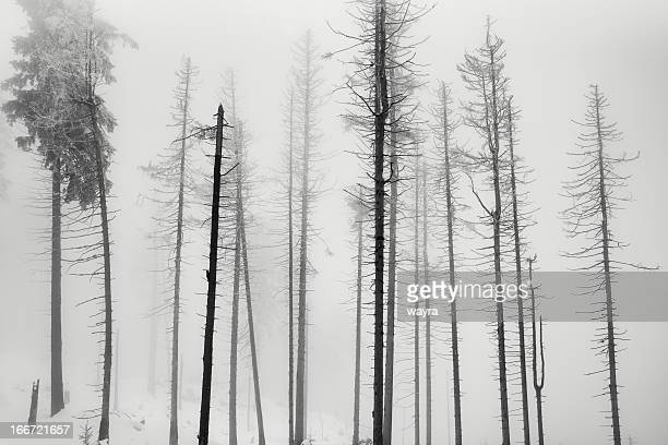 Dead spruce trees on a cold foggy day