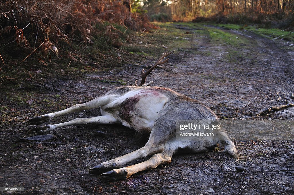 Dead stag on muddy track : Stock Photo