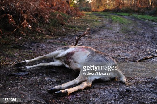 Dead stag on muddy track : Stockfoto