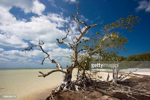 Dead sunbleached tree on edge of mangrove woodland Islamorada Florida Keys United States of America