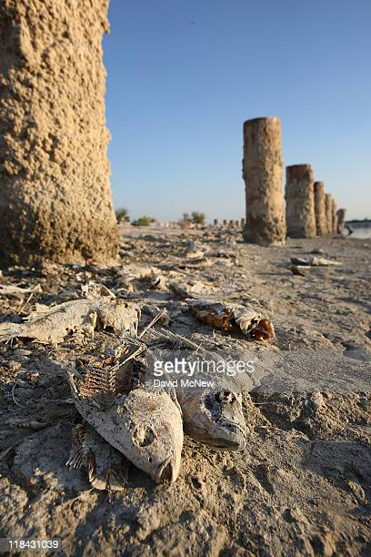 Dead tilapia fish lie on dry ground near pilings that once supported a dock at a former yacht club on the shore of the Salton Sea the biggest lake in...