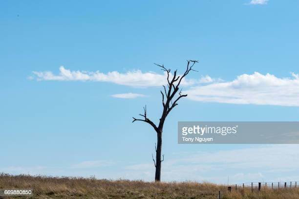 Dead Tree in rural fields Australia in the sun day.