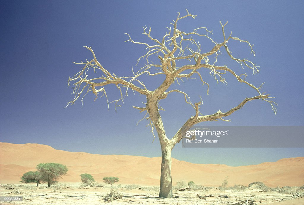 dead tree: namib desert  south west africa : Stock Photo