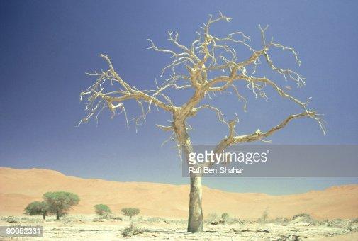 dead tree: namib desert  south west africa : Stock Photo